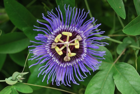 The Skinny On The Passion Flower The Flourishing Tree