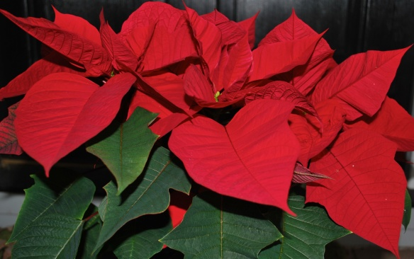 poinsettiablooming