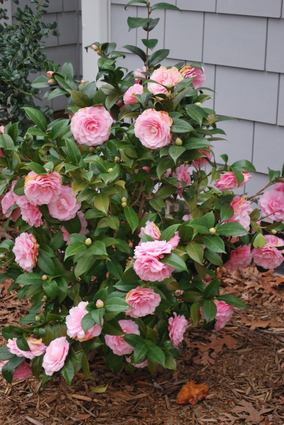 Camellias!