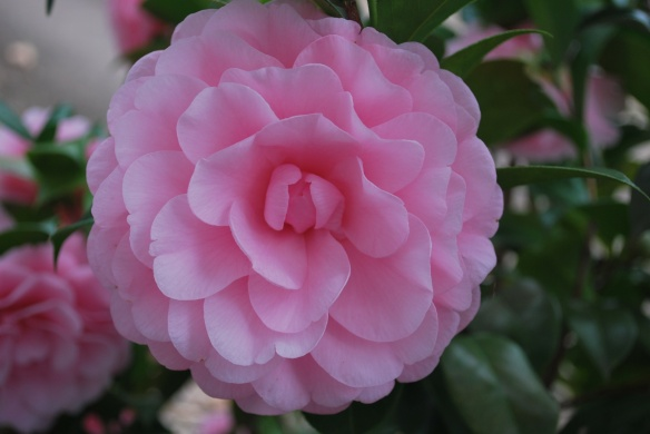 The perfect camellia bloom?