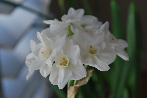 A paperwhite in bloom brings springtime inside, even in winter.