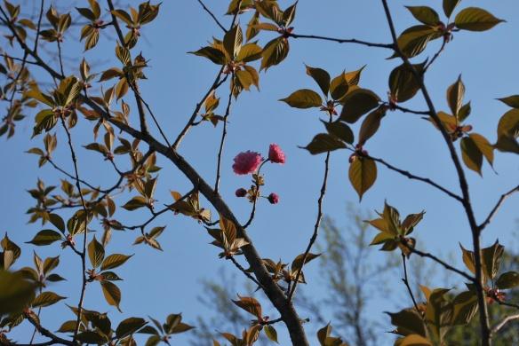 cherrytreeleavesandblooms2013