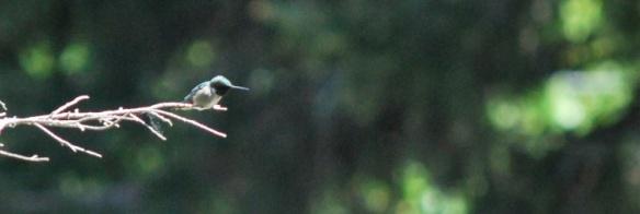 Hummingbirdatrest2013