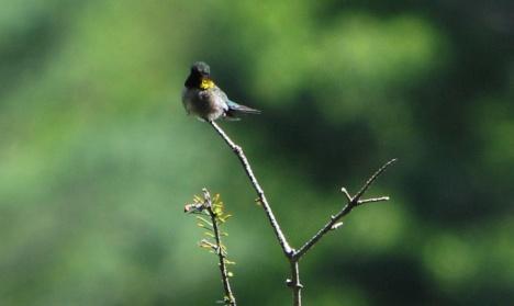 Hummingbirdwatchingme2013