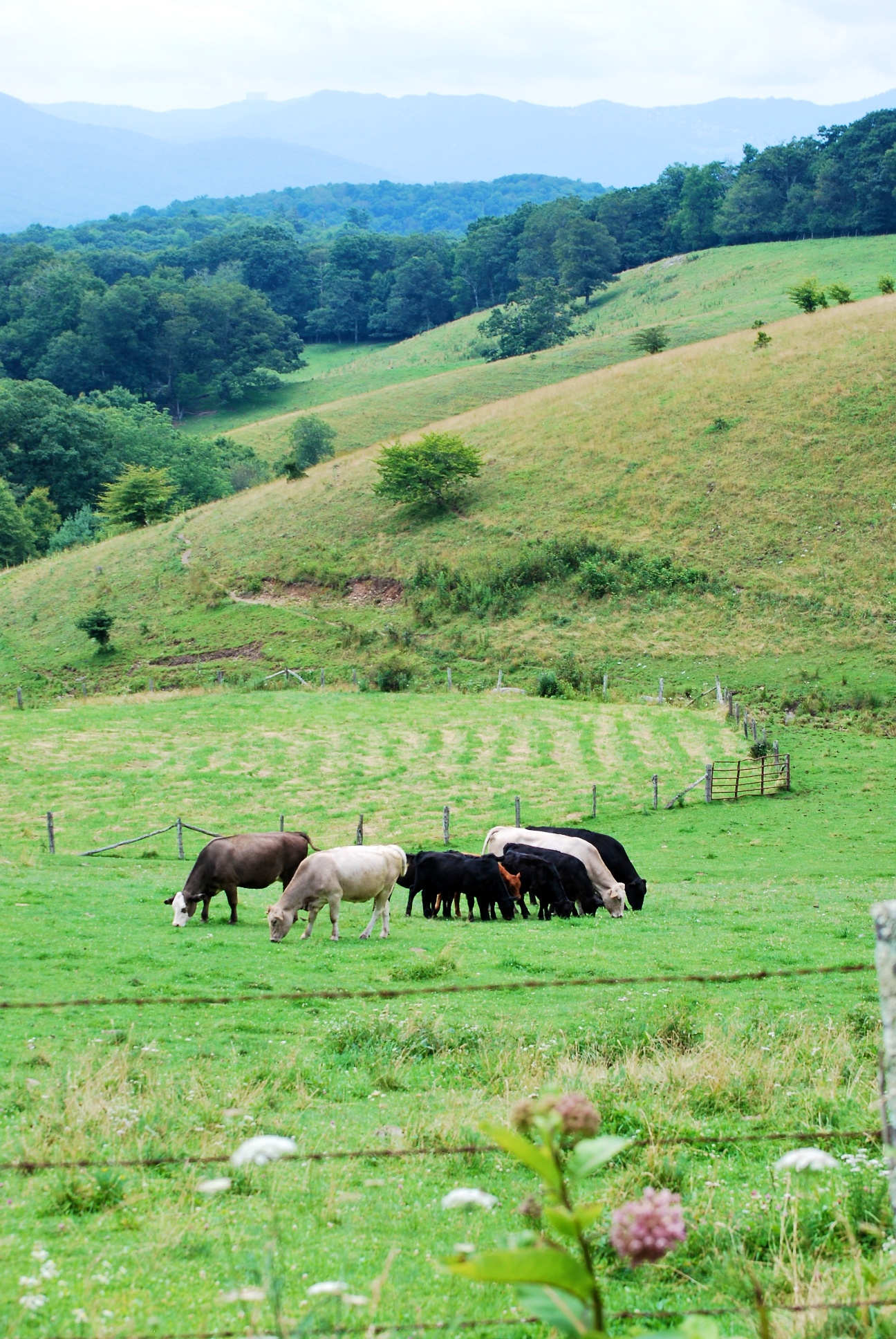 cowsgrazing_2013