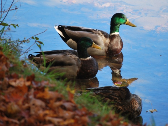 Ducks_2013