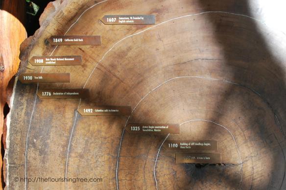 AncientTreesMuirWoods2014_ft
