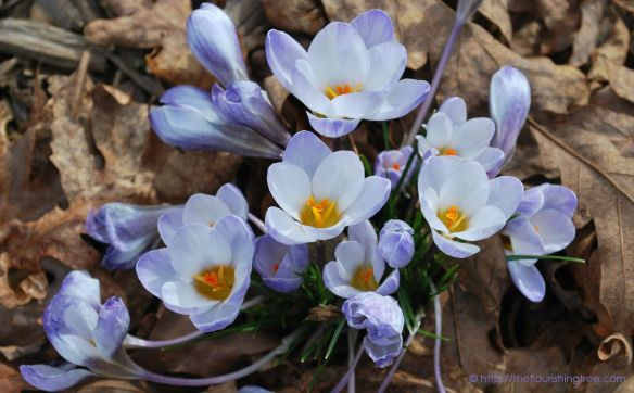 Crocusblooms_2014ft