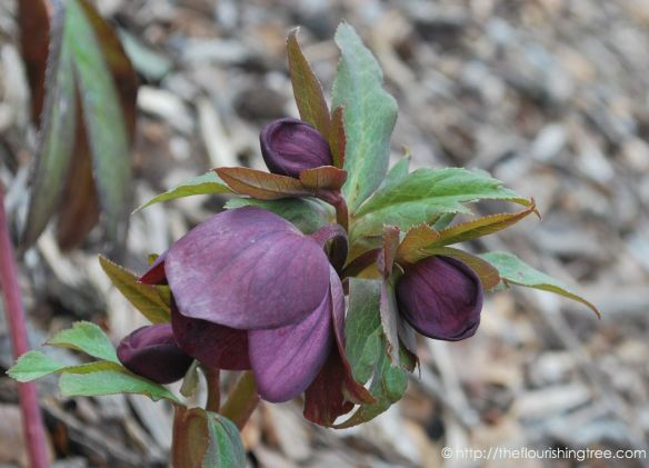 PurpleLentenRose_2014ft