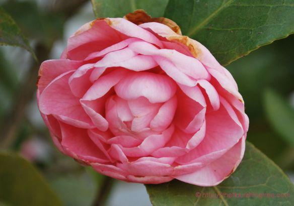 Camelliabloom2_2014ft