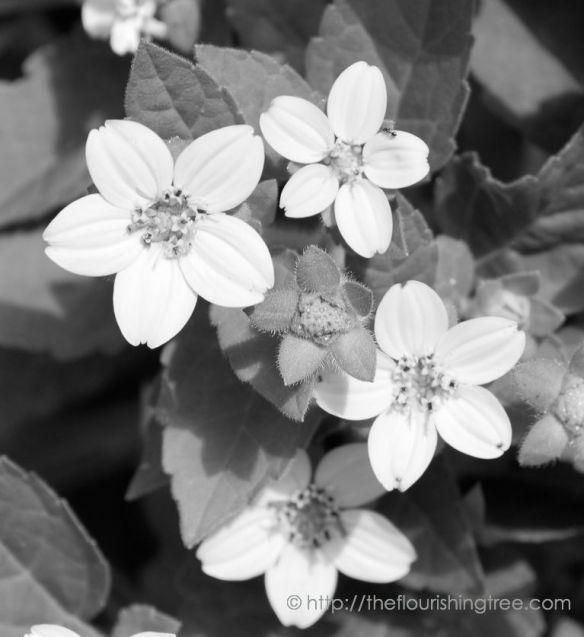 Antwithflowersinblackandwhite_2014_FT