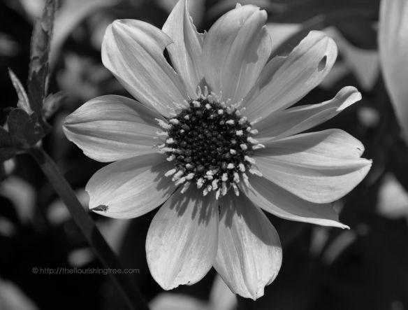 Chewedflowerinblackandwhite_2014_FT