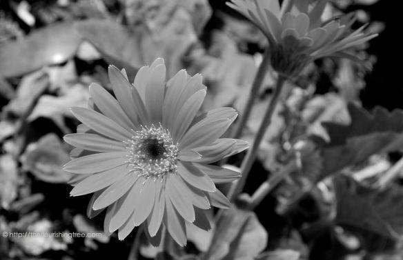 Gerbera1inblackandwhite_2014_FT