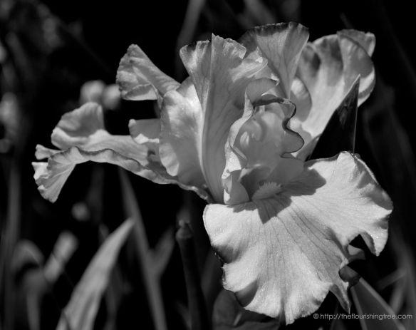 Iris2inblackandwhite_2014_FT