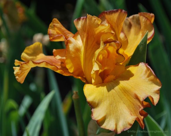 Iris2incolor_2014_FT