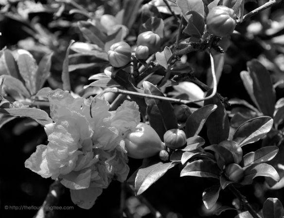Pomegranateinblackandwhite_2014_FT