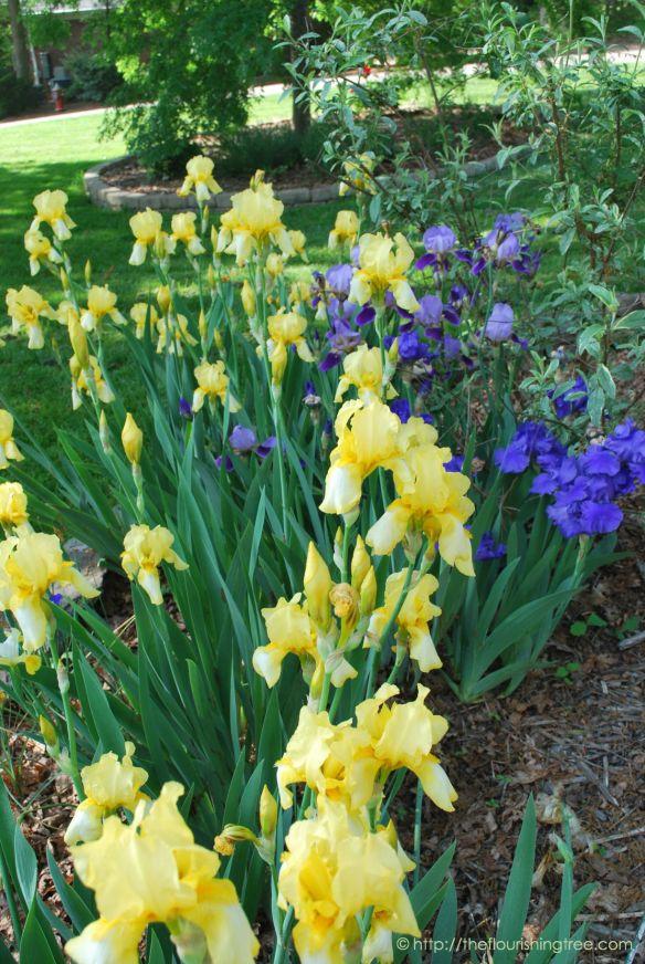 Spring2014RiotousIrisesFT