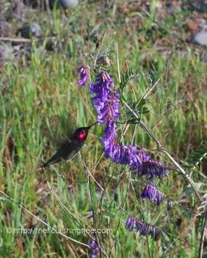 EarlySpringhummingbird2015_FT