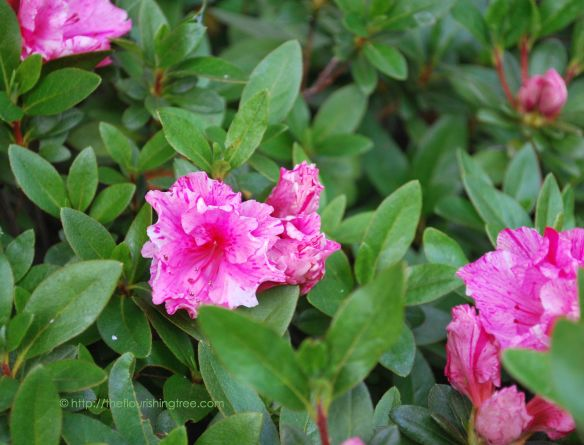 EasterGardenazalea2015_FT