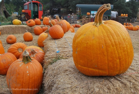 PumpkinFarm2015_3FT