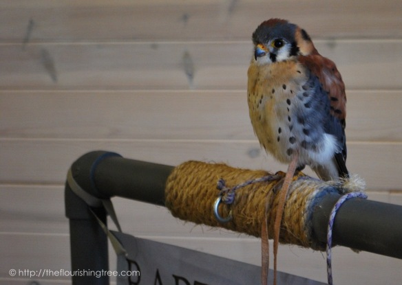 BuddyAmericanKestrel2016_1FT
