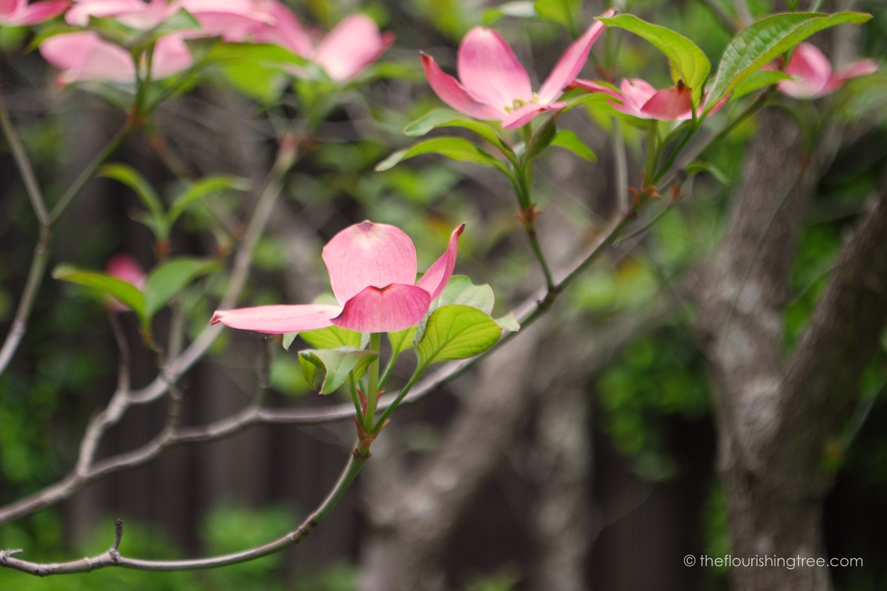 picture relating to Legend of the Dogwood Tree Printable titled The Easter legend of the dogwood The Thriving Tree
