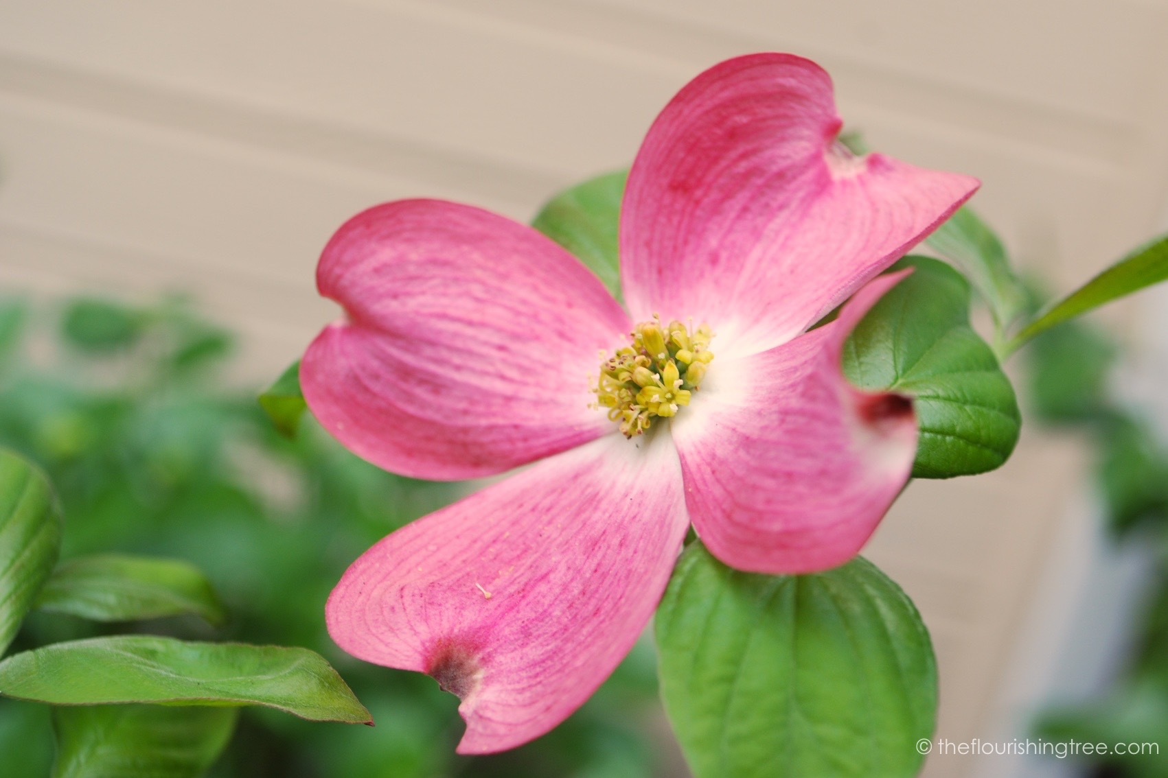 photo relating to Legend of the Dogwood Tree Printable referred to as The Easter legend of the dogwood The Thriving Tree