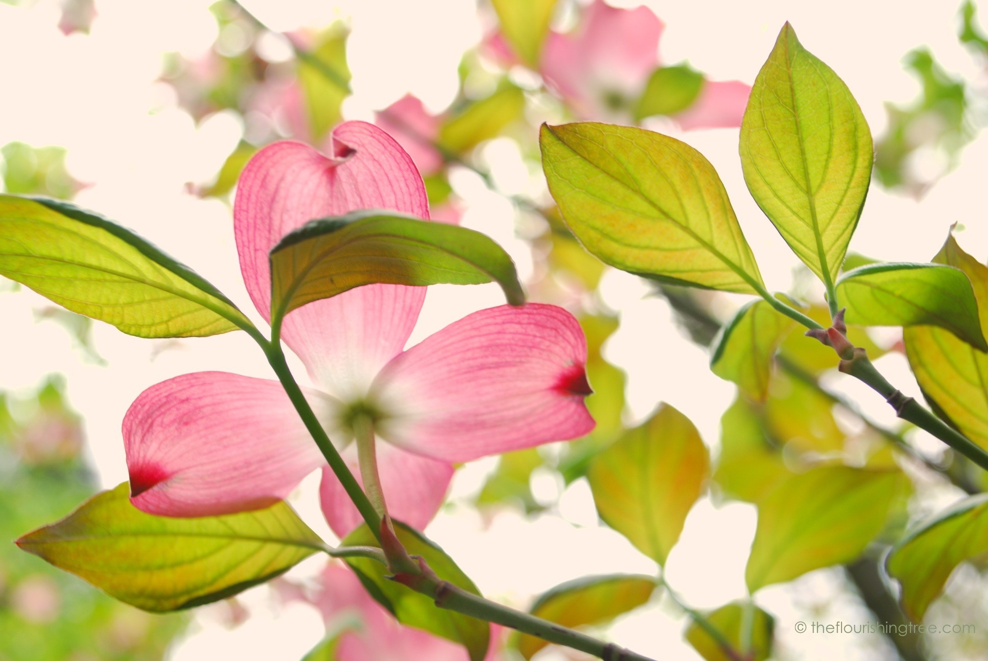 photo relating to Legend of the Dogwood Tree Printable identify The Easter legend of the dogwood The Thriving Tree