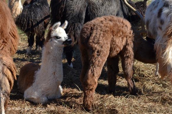 Llamas2020_1FT