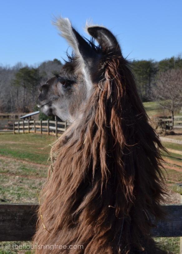 Llamas2020_3FT