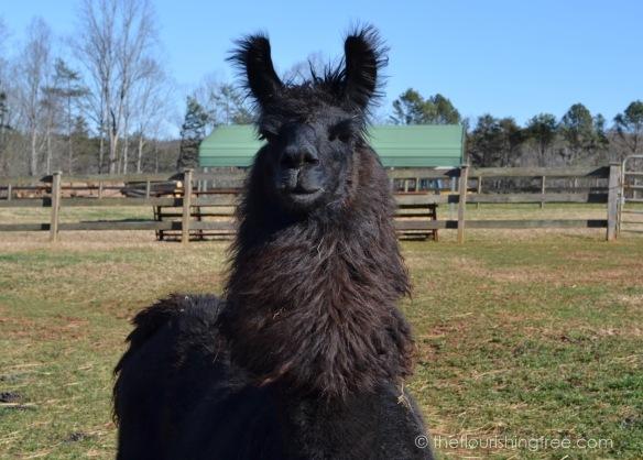 Llamas2020_4