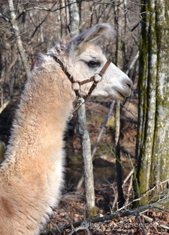 Llamas2020_5FT