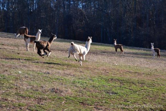 Llamas2020_7FT